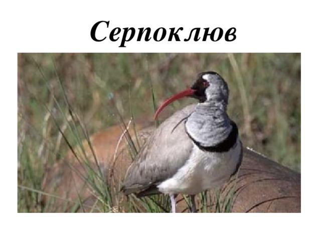 Серпоклюв