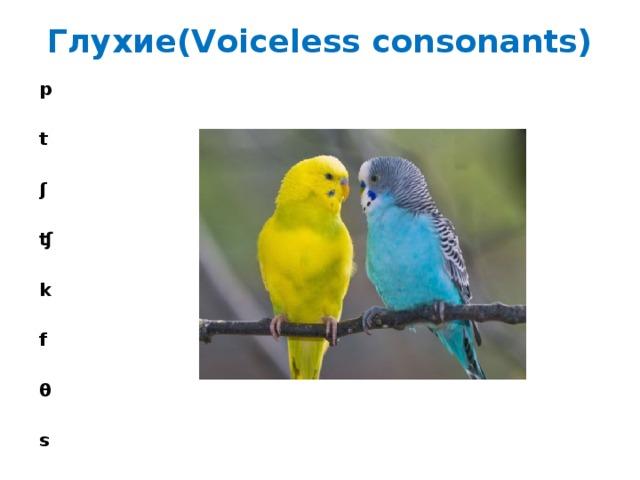 Глухие(Voiceless consonants)   p  t  ʃ  ʧ  k  f  θ  s