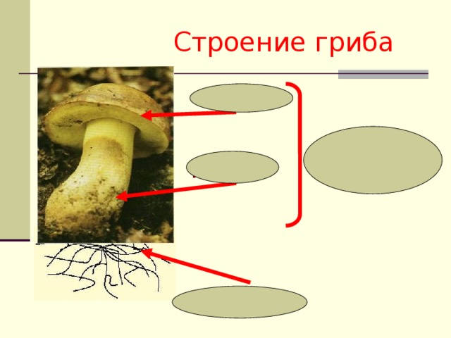 Строение гриба шляпка плодовое  тело пенёк грибница