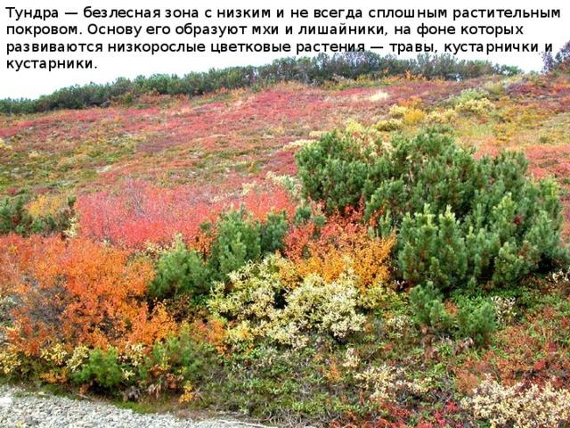 Тундра — безлесная зона с низким и не всегда сплошным растительным покровом. Основу его образуют мхи и лишайники, на фоне которых развиваются низкорослые цветковые растения — травы, кустарнички и кустарники.
