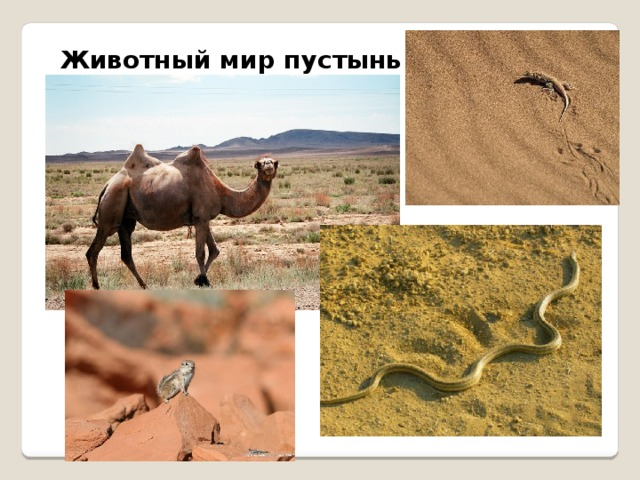 Животный мир пустынь