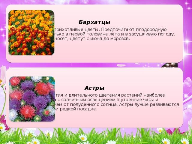 Бархатцы Теплолюбивые и неприхотливые цветы. Предпочитают плодородную почву. Поливают только в первой половине лета и в засушливую погоду. Заморозков не переносят, цветут с июня до морозов. Астры Для хорошего развития и длительного цветения растений наиболее благоприятны места с солнечным освещением в утренние часы и некоторым затенением от полуденного солнца. Астры лучше развиваются и меньше болеют при редкой посадке.