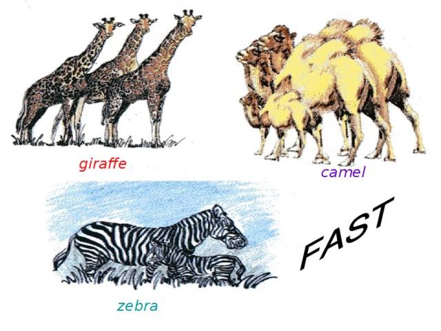 giraffe camel zebra
