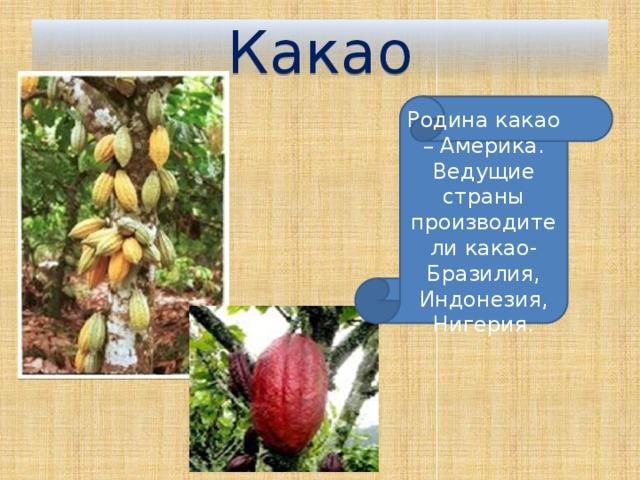 Какао Родина какао – Америка. Ведущие страны производители какао- Бразилия, Индонезия, Нигерия.