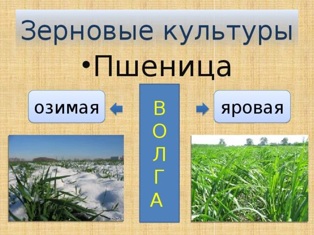 Зерновые культуры Пшеница В О Л Г А яровая озимая