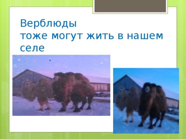 Верблюды  тоже могут жить в нашем селе .