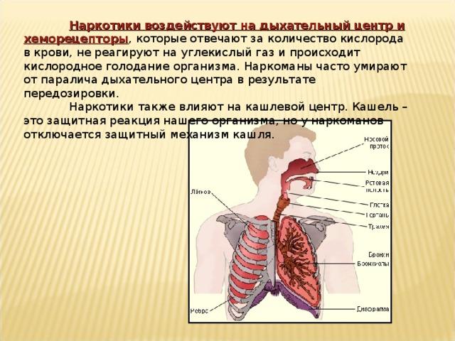 Наркотики воздействуют на дыхательный центр и хеморецепторы , которые отвечают за количество кислорода в крови, не реагируют на углекислый газ и происходит кислородное голодание организма. Наркоманы часто умирают от паралича дыхательного центра в результате передозировки.  Наркотики также влияют на кашлевой центр. Кашель – это защитная реакция нашего организма, но у наркоманов отключается защитный механизм кашля.