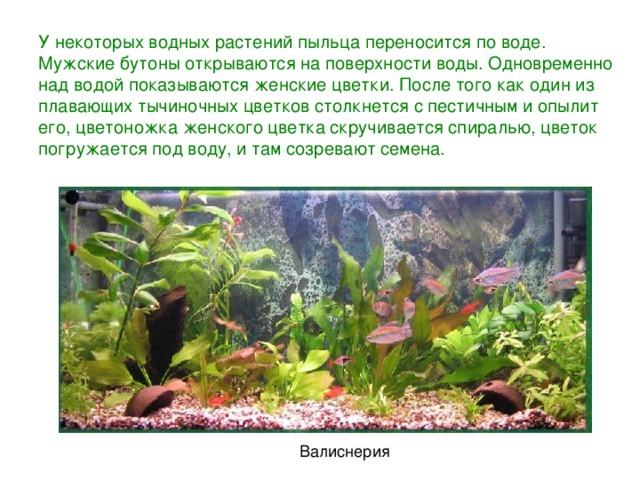 У некоторых водных растений пыльца переносится по воде. Мужскиебутоны открываются на поверхности воды. Одновременно над водой показываются женские цветки. После того как один из плавающих тычиночных цветков столкнется с пестичным и опылит его, цветоножка женского цветка скручивается спиралью, цветок погружается под воду, и там созревают семена. Валиснерия