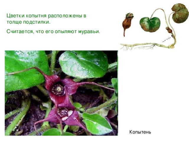 Цветки копытня расположены в толще подстилки. Считается, что его опыляют муравьи. Копытень