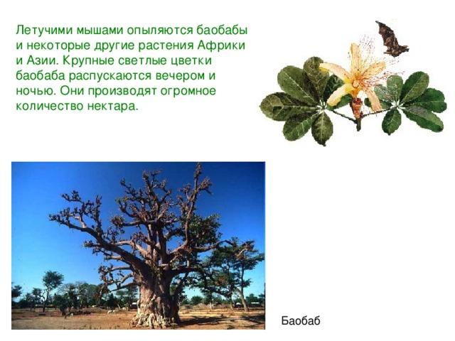 Летучими мышами опыляются баобабы инекоторые другие растения Африки и Азии. Крупные светлые цветки баобаба распускаются вечером и ночью. Они производят огромное количество нектара. Баобаб