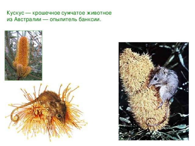 Кускус — крошечное сумчатое животное изАвстралии — опылитель банксии.
