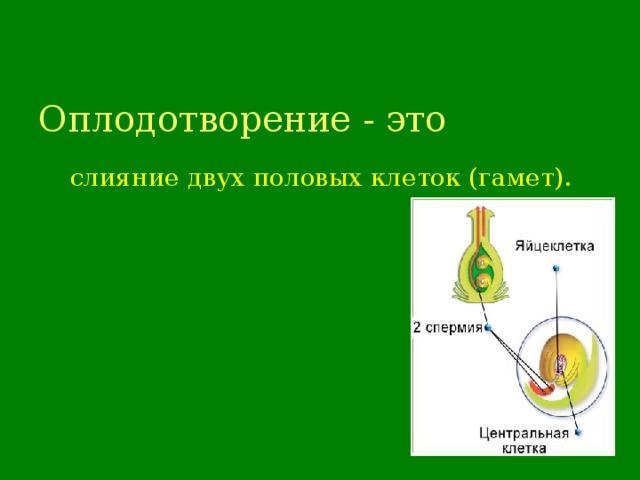 Оплодотворение - это  слияние двух половых клеток (гамет).