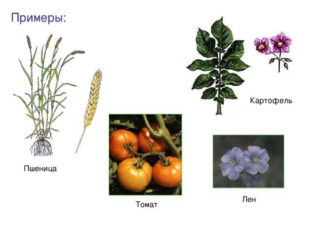 Примеры: Картофель Пшеница Лен Томат
