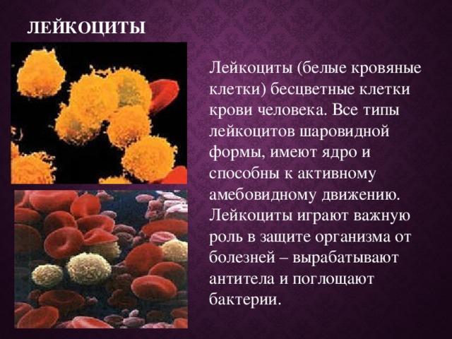 Лейкоциты Лейкоциты (белые кровяные клетки) бесцветные клетки крови человека. Все типы лейкоцитов шаровидной формы, имеют ядро и способны к активному амебовидному движению. Лейкоциты играют важную роль в защите организма от болезней – вырабатывают антитела и поглощают бактерии.