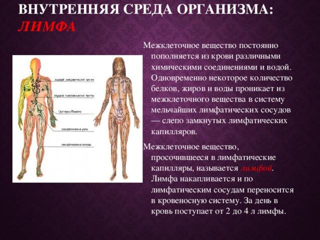 Внутренняя среда организма: лимфа   Межклеточное вещество постоянно пополняется из крови различными химическими соединениями и водой. Одновременно некоторое количество белков, жиров и воды проникает из межклеточного вещества в систему мельчайших лимфатических сосудов — слепо замкнутых лимфатических капилляров. Межклеточное вещество, просочившееся в лимфатические капилляры, называется лимфой . Лимфа накапливается и по лимфатическим сосудам переносится в кровеносную систему. За день в кровь поступает от 2 до 4 л лимфы.