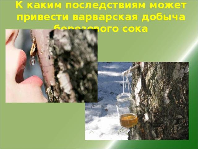 К каким последствиям может привести варварская добыча березового сока