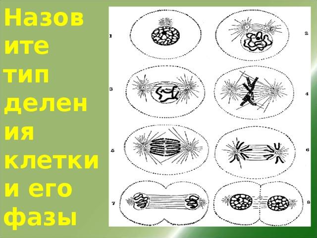 Назовите тип деления клетки и его фазы