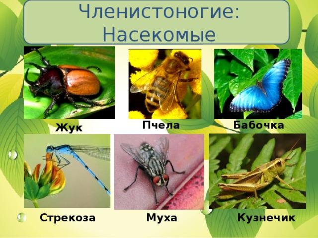 Членистоногие: Насекомые Пчела Бабочка Жук Стрекоза Муха Кузнечик