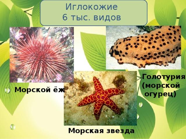 Иглокожие  6 тыс. видов Голотурия (морской  огурец) Морской ёж Морская звезда