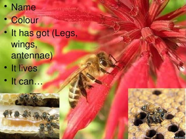 Name Colour It has got (Legs, wings, antennae) It lives It can…