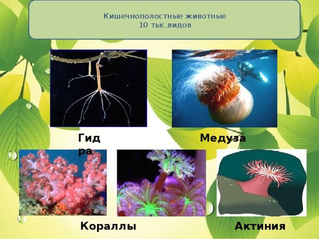 Кишечнополостные животные  10 тыс.видов   Гидра Медуза Кораллы Актиния