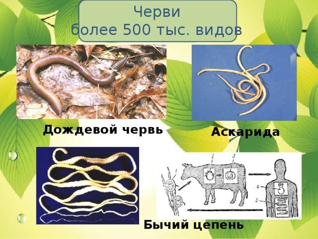 Черви  более 500 тыс. видов Дождевой червь Аскарида Бычий цепень