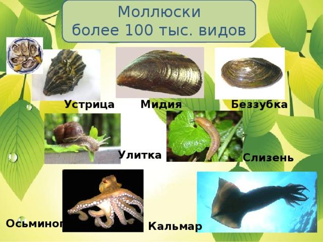 Моллюски  более 100 тыс. видов Устрица Мидия Беззубка Улитка Слизень Осьминог Кальмар