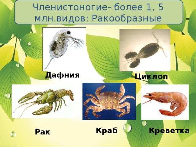 Членистоногие- более 1, 5 млн.видов: Ракообразные Дафния Циклоп Краб Креветка Рак