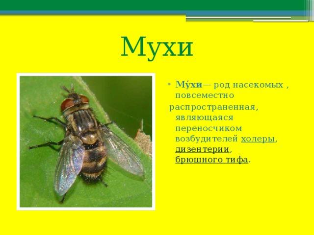 Мухи Му́хи — род насекомых , повсеместно  распространенная, являющаяся переносчиком возбудителей холеры , дизентерии , брюшного тифа .
