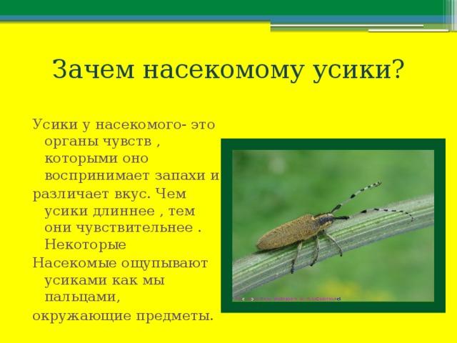 Зачем насекомому усики? Усики у насекомого- это органы чувств , которыми оно воспринимает запахи и различает вкус. Чем усики длиннее , тем они чувствительнее . Некоторые Насекомые ощупывают усиками как мы пальцами, окружающие предметы.
