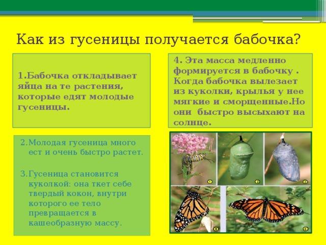 Как из гусеницы получается бабочка? 1.Бабочка откладывает яйца на те растения, которые едят молодые гусеницы. 4. Эта масса медленно формируется в бабочку . Когда бабочка вылезает из куколки, крылья у нее мягкие и сморщенные.Но они быстро высыхают на солнце. 2.Молодая гусеница много ест и очень быстро растет. 3.Гусеница становится куколкой: она ткет себе твердый кокон, внутри которого ее тело превращается в кашеобразную массу.