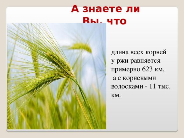 А знаете ли Вы, что  длина всех корней у ржи равняется примерно 623 км,  а с корневыми волосками - 11 тыс. км.