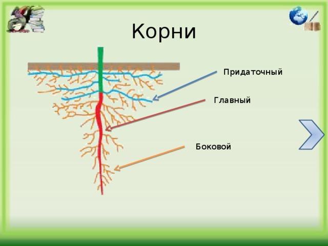 Содержание 1. Типы корневых систем 2. Корни