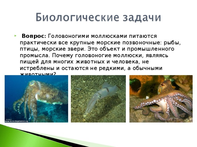 Вопрос : Головоногими моллюсками питаются практически все крупные морские позвоночные: рыбы, птицы, морские звери. Это объект и промышленного промысла. Почему головоногие моллюски, являясь пищей для многих животных и человека, не истреблены и остаются не редкими, а обычными животными?