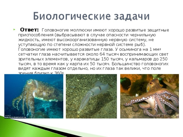 Ответ:  Головоногие моллюски имеют хорошо развитые защитные приспособления (выбрасывают в случае опасности чернильную жидкость, имеют высокоорганизованную нервную систему, не уступающую по степени сложности нервной системе рыб). Головоногие имеют хорошо развитые глаза. У осьминога на 1 мм 2 сетчатки глаза насчитывается около 64 тысяч воспринимающих свет зрительных элементов, у каракатицы 150 тысяч, у кальмаров до 250 тысяч, в то время как у карпа их 50 тысяч. Большинство головоногих видят каждым глазом отдельно, но их глаза так велики, что поле зрения близко к 360 0 .