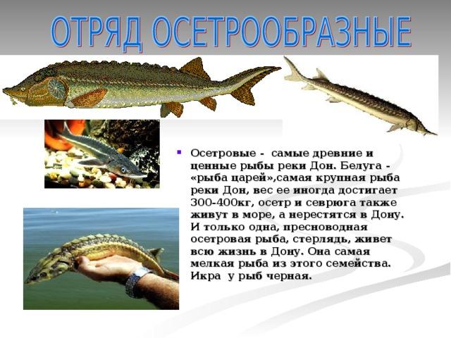 Осетровые - самые древние и ценные рыбы реки Дон. Белуга - «рыба царей»,самая крупная рыба реки Дон, вес ее иногда достигает 300-400кг, осетр и севрюга также живут в море, а нерестятся в Дону. И только одна, пресноводная осетровая рыба, стерлядь, живет всю жизнь в Дону. Она самая мелкая рыба из этого семейства. Икра у рыб черная.