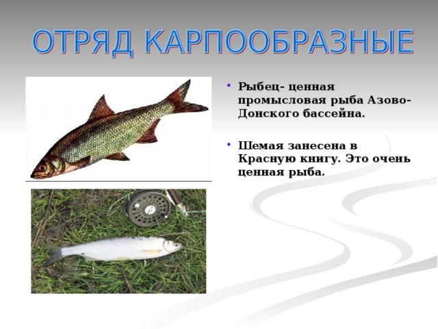 Рыбец- ценная промысловая рыба Азово-Донского бассейна.  Шемая занесена в Красную книгу. Это очень ценная рыба.