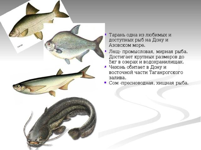 Тарань одна из любимых и доступных рыб на Дону и Азовском море. Лещ- промысловая, мирная рыба. Достигает крупных размеров до 5кг в озерах и водохранилищах. Чехонь обитает в Дону и восточной части Таганрогского залива. Сом -пресноводная, хищная рыба.