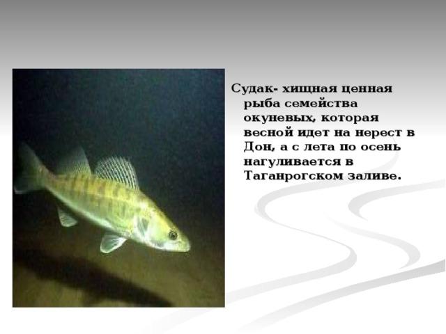 Судак- хищная ценная рыба семейства окуневых, которая весной идет на нерест в Дон, а с лета по осень нагуливается в Таганрогском заливе.