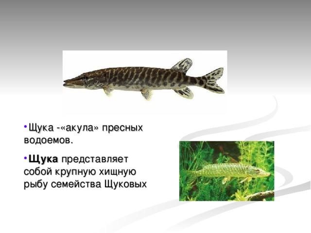 Щука -«акула» пресных водоемов. Щука представляет собой крупную хищную рыбу семейства Щуковых