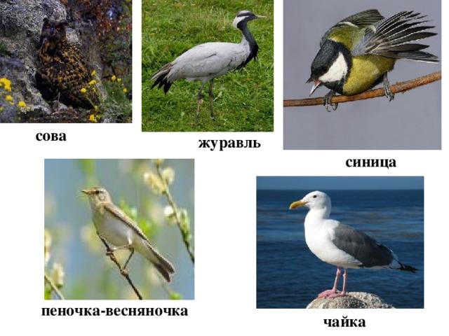 сова журавль синица пеночка-весняночка чайка