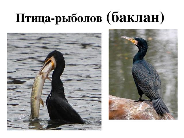 Птица-рыболов (баклан)