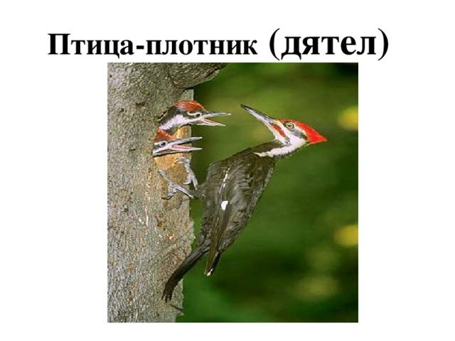 Птица-плотник (дятел)