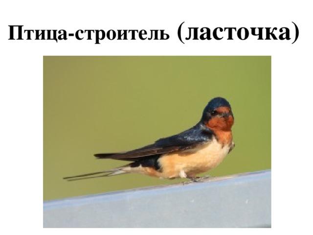 Птица-строитель (ласточка)