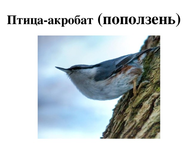 Птица-акробат (поползень)