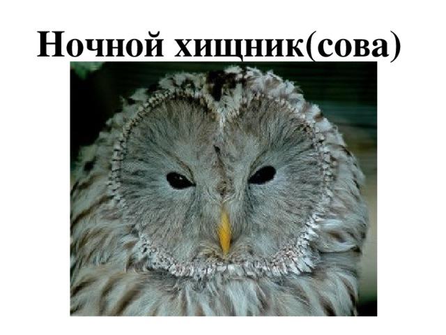 Ночной хищник(сова)