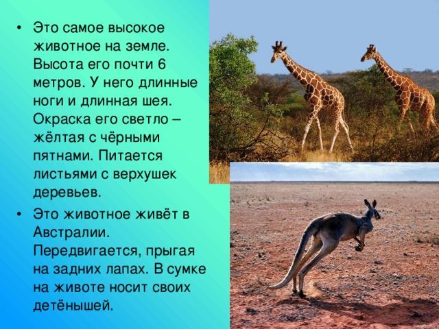 Это самое высокое животное на земле. Высота его почти 6 метров. У него длинные ноги и длинная шея. Окраска его светло – жёлтая с чёрными пятнами. Питается листьями с верхушек деревьев. Это животное живёт в Австралии. Передвигается, прыгая на задних лапах. В сумке на животе носит своих детёнышей.