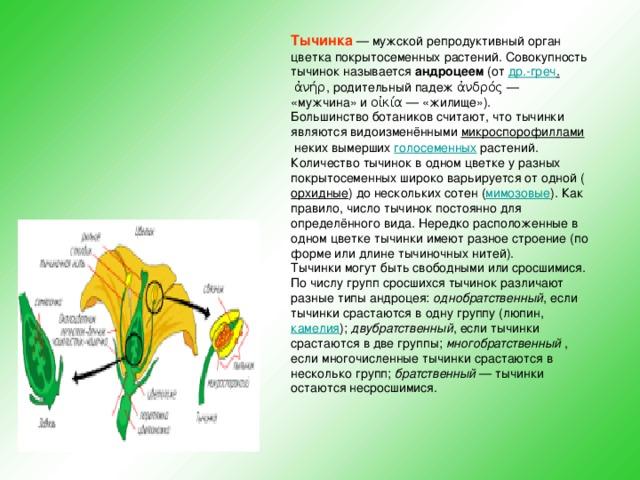 Тычинка — мужской репродуктивный орган цветка покрытосеменных растений. Совокупность тычинок называется андроцеем (от др.-греч . ἀνήρ, родительный падежἀνδρός— «мужчина» иοἰκία— «жилище»). Большинство ботаников считают, что тычинки являются видоизменёнными микроспорофиллами неких вымерших голосеменных растений. Количество тычинок в одном цветке у разных покрытосеменных широко варьируется от одной ( орхидные ) до нескольких сотен ( мимозовые ). Как правило, число тычинок постоянно для определённого вида. Нередко расположенные в одном цветке тычинки имеют разное строение (по форме или длине тычиночных нитей). Тычинки могут быть свободными или сросшимися. По числу групп сросшихся тычинок различают разные типы андроцея: однобратственный , если тычинки срастаются в одну группу (люпин, камелия ); двубратственный , если тычинки срастаются в две группы; многобратственный , если многочисленные тычинки срастаются в несколько групп; братственный — тычинки остаются несросшимися.
