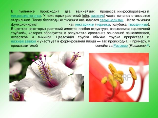 В пыльнике происходит два важнейших процесса: микроспорогенез и микрогаметогенез . У некоторых растений ( лён , аистник ) часть тычинок становится стерильной. Такие бесплодные тычинки называются стаминодиями . Часто тычинки функционируют как нектарники ( черника , голубика , гвоздичные ).  В цветках некоторых растений имеется особая структура, называемая «цветочной трубкой», которая образуется в результате срастания оснований чашелистиков, лепестков и тычинок. Цветочная трубка обычно трубка прирастает к нижней завязи и участвует в формировании плода— так происходит, к примеру, у представителей семейства Розовые ( Rosaceae ) [3] .