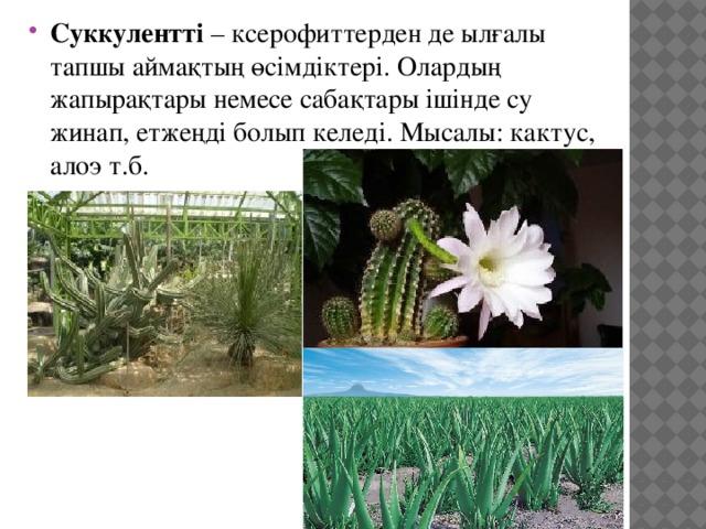 Суккулентті – ксерофиттерден де ылғалы тапшы аймақтың өсімдіктері. Олардың жапырақтары немесе сабақтары ішінде су жинап, етжеңді болып келеді. Мысалы: кактус, алоэ т.б.